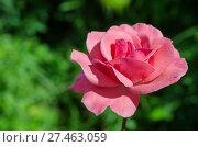 Купить «Розовая роза», фото № 27463059, снято 5 августа 2017 г. (c) Елена Коромыслова / Фотобанк Лори