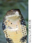 Купить «Cobra snake closeup», фото № 27463139, снято 31 декабря 2017 г. (c) Михаил Коханчиков / Фотобанк Лори