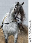 Светло серый конь в уздечке для тренинга на корде. Стоковое фото, фотограф Абрамова Ксения / Фотобанк Лори