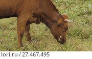 Купить «Cow eats a grass on a pasture», видеоролик № 27467495, снято 14 декабря 2017 г. (c) Илья Шаматура / Фотобанк Лори