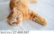 Купить «Red-haired five-month-old kitten with brown eyes lies on table», видеоролик № 27468067, снято 2 января 2018 г. (c) Володина Ольга / Фотобанк Лори