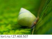 Купить «green snail with eyes close-up on a leaf in the tropics», фото № 27468507, снято 12 ноября 2016 г. (c) Константин Лабунский / Фотобанк Лори