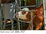 Calf in a Holding Pen Drinking Milk. Стоковое фото, фотограф Zoonar/Paul Mayall / age Fotostock / Фотобанк Лори