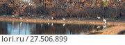 Купить «Panorama with a pond and nine great blue herons in a burnt forest. St George Island State Park, Florida, USA», фото № 27506899, снято 25 декабря 2017 г. (c) Ирина Кожемякина / Фотобанк Лори