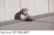 Купить «Seagull is eating a dead dove. Seagull is a predator.», видеоролик № 27509407, снято 23 января 2018 г. (c) Leonid Eremeychuk / Фотобанк Лори