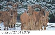 Купить «Barbary sheep (Ammotragus lervia)», видеоролик № 27519979, снято 28 декабря 2017 г. (c) BestPhotoStudio / Фотобанк Лори