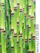 Купить «RF - Yellow groove bamboo (Phyllostachys aureosulcata) stems, Hortus Botanicus Leiden, Netherlands, July.», фото № 27521059, снято 23 апреля 2018 г. (c) Nature Picture Library / Фотобанк Лори