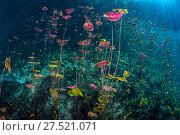 RF - Dense stand of Water lilies (Nymphaea mexicana) growing in a Cenote (a freshwater sink hole) with sun beams. Carwash Cenote, Aktun Ha Cenote, Tulum... Стоковое фото, фотограф Alex Mustard / Nature Picture Library / Фотобанк Лори