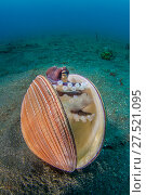 Купить «RF - Veined octopus (Amphioctopus marginatus) sheltering in an old clam shell, with sand swirling over it. North Sulawesi, Indonesia», фото № 27521095, снято 18 марта 2018 г. (c) Nature Picture Library / Фотобанк Лори