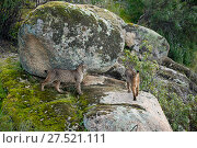 Купить «RF - Two Iberian lynx (Lynx pardinus) in Sierra Morena, Andalusia, Spain, January.», фото № 27521111, снято 24 февраля 2018 г. (c) Nature Picture Library / Фотобанк Лори