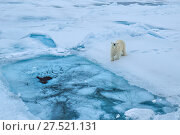 RF - Polar bear (Ursus arctos) on sea ice, Svalbard, Norway. (This image may be licensed either as rights managed or royalty free.) Стоковое фото, фотограф Andy Rouse / Nature Picture Library / Фотобанк Лори