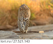 RF - African leopard (Panthera pardus) walking across rocks, Masai Mara, Kenya. (This image may be licensed either as rights managed or royalty free.) Стоковое фото, фотограф Andy Rouse / Nature Picture Library / Фотобанк Лори