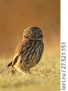 Купить «RF - Little owl (Athene noctua) on frosty morning, UK. January.», фото № 27521151, снято 25 сентября 2018 г. (c) Nature Picture Library / Фотобанк Лори