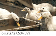 Купить «Geese Eating on Farm», видеоролик № 27534399, снято 14 декабря 2017 г. (c) Илья Шаматура / Фотобанк Лори
