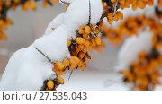 Купить «Shrubs of sea-buckthorn with yellow berries under snow.», видеоролик № 27535043, снято 31 января 2018 г. (c) Володина Ольга / Фотобанк Лори