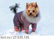 Купить «Собака породы йоркширский терьер в зимней одежде на снегу», фото № 27535135, снято 1 февраля 2018 г. (c) Татьяна Белова / Фотобанк Лори