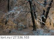 Купить «Big snow-covered trees in night winter Ivan Franko park in Lviv, Ukraine», фото № 27536103, снято 10 декабря 2017 г. (c) Юрий Брыкайло / Фотобанк Лори