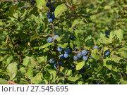 Купить «Berries of wild plum - a sloe», фото № 27545695, снято 23 августа 2015 г. (c) Leonid Eremeychuk / Фотобанк Лори