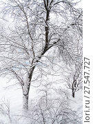 Купить «Дерево покрытое толстым слоем снега в сильный снегопад. Москва», фото № 27547727, снято 31 января 2018 г. (c) Алёшина Оксана / Фотобанк Лори