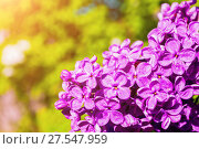 Купить «Lilac flowers in the spring garden, spring flower background. Selective focus at the lilac flowers», фото № 27547959, снято 15 июня 2017 г. (c) Зезелина Марина / Фотобанк Лори