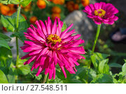 Купить «Цинния кактусовидная цветет в саду», фото № 27548511, снято 21 августа 2017 г. (c) Елена Коромыслова / Фотобанк Лори