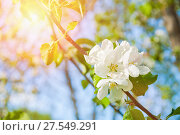 Купить «Spring flowers of blooming apple tree under sun. Natural spring floral background», фото № 27549291, снято 4 июня 2017 г. (c) Зезелина Марина / Фотобанк Лори