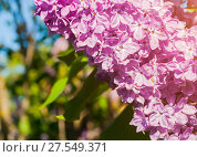 Купить «Lilac flowers, spring flower sunny background. Selective focus at the flowers», фото № 27549371, снято 15 июня 2017 г. (c) Зезелина Марина / Фотобанк Лори