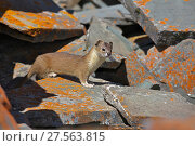 Купить «Mountain weasel (Mustela altaica) on rocks, Jigzhi County, Qinghai Province, China.», фото № 27563815, снято 20 сентября 2019 г. (c) Nature Picture Library / Фотобанк Лори