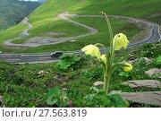 Купить «Poppy (Meconopsis integrifolia) Jiajinshan Mountain , Sichuan Province, China.», фото № 27563819, снято 21 июня 2018 г. (c) Nature Picture Library / Фотобанк Лори