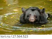 Moon bear (Ursus thibetanus) swimming in Animals Asia Bear Sanctuary after being rescued from a bear bile farm. Captive, China. September. Стоковое фото, фотограф Inaki  Relanzon / Nature Picture Library / Фотобанк Лори