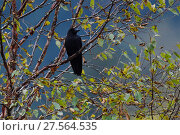 Купить «Large-billed crow (Corvus macrorhynchos) in the humid montane mixed forest, Laba He National Nature Reserve, Sichuan, China», фото № 27564535, снято 27 марта 2019 г. (c) Nature Picture Library / Фотобанк Лори