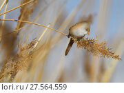 Купить «Bearded reedling or Bearded tit (Panurus biarmicus) female in reeds, Qai Dam Basin,  Tibetan Plateau, Qinghai, China», фото № 27564559, снято 27 марта 2019 г. (c) Nature Picture Library / Фотобанк Лори
