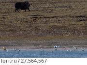 Купить «Wild Yak, (Bos mutus) with Ruddy shellduck (Tadorna ferruginea) and Bar-headed goose (Anser indicus) at  Keke Xili, Changtang,Tibetan Plateau, Qinghai, China», фото № 27564567, снято 16 декабря 2018 г. (c) Nature Picture Library / Фотобанк Лори