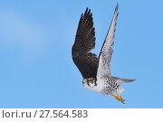 Купить «Saker falcon (Falco cherrug milvipes) in flight, Keke Xili, Changtang, Tibetan Plateau, Qinghai, China», фото № 27564583, снято 17 декабря 2018 г. (c) Nature Picture Library / Фотобанк Лори