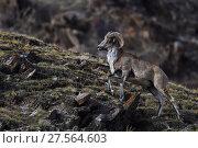 Argali, or the Mountain sheep (Ovis ammon), Zhidua, Tibetan Plateau, Qinghai, China. Стоковое фото, фотограф Staffan Widstrand / Nature Picture Library / Фотобанк Лори