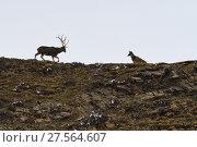Купить «White-lipped or Thorold's deer (Cervus albirostris) stag and hind, Yushu, Tibetan Plateau, Qinghai, China», фото № 27564607, снято 27 мая 2019 г. (c) Nature Picture Library / Фотобанк Лори