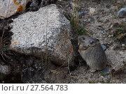 Купить «Gansu pika (Ochotona cansus), endemic to China, Tibetan Plateau, Qinghai, China», фото № 27564783, снято 19 января 2019 г. (c) Nature Picture Library / Фотобанк Лори