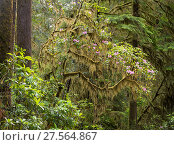 Купить «Moss draped over flowering Rhododendron, Jedediah Smith Redwoods State Park, California, USA. June 2017.», фото № 27564867, снято 22 мая 2018 г. (c) Nature Picture Library / Фотобанк Лори