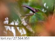 Купить «Crimson-rumped toucanet (Aulacorhynchus haematopygus) calling, Mashpi, Pichincha, Ecuador.», фото № 27564951, снято 18 октября 2019 г. (c) Nature Picture Library / Фотобанк Лори