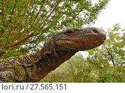 Купить «Crocodile monitor (Varanus salvadorii) portrait, captive, occurs in New Guinea.», фото № 27565151, снято 20 августа 2018 г. (c) Nature Picture Library / Фотобанк Лори