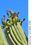 Купить «Gila Woodpecker (Melanerpes uropygialis) eating Saguaro fruit (Carnegiea gigantea) Arizona, USA, June.», фото № 27565159, снято 19 августа 2018 г. (c) Nature Picture Library / Фотобанк Лори