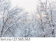 Купить «Кроны деревьев в снегу», фото № 27565563, снято 31 января 2018 г. (c) Алёшина Оксана / Фотобанк Лори