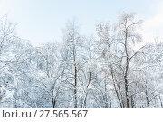 Купить «Кроны деревьев в снегу после снегопада в Москве», фото № 27565567, снято 31 января 2018 г. (c) Алёшина Оксана / Фотобанк Лори