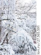 Купить «Ветки деревьев склонились под тяжестью снега после снегопада в Москве», фото № 27565591, снято 6 февраля 2018 г. (c) Алёшина Оксана / Фотобанк Лори