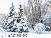 Купить «Заснеженные голубые ели (Picea pungens) и пирамидальные тополя после снегопада в Москве», фото № 27565607, снято 6 февраля 2018 г. (c) Алёшина Оксана / Фотобанк Лори