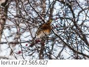 Купить «Дрозд рябинник (Turdus pilaris), сидящий на ветке боярышника зимой», фото № 27565627, снято 6 февраля 2018 г. (c) Алёшина Оксана / Фотобанк Лори