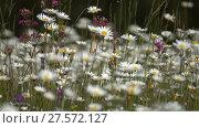 Купить «Daisies on a meadow - shot with shallow DOF», видеоролик № 27572127, снято 2 декабря 2017 г. (c) Михаил Коханчиков / Фотобанк Лори