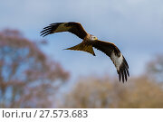 Купить «Red kite (Milvus milvus) in flight, Gigrin Farm, Powys, Wales, UK, April.», фото № 27573683, снято 16 июля 2018 г. (c) Nature Picture Library / Фотобанк Лори