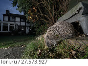 Купить «Hedgehog (Erinaceus europaeus) emerging from a hedgehog house at night in a suburban garden, Chippenham, Wiltshire, UK, August.  Taken with a remote camera trap. Property released.», фото № 27573927, снято 21 июля 2018 г. (c) Nature Picture Library / Фотобанк Лори