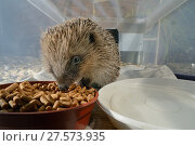 Купить «Hedgehog (Erinaceus europaeus) feeding on meat-based hedgehog pellets in a home-made hedgehog feeder box with a narrow entrance designed to exclude cats...», фото № 27573935, снято 21 июля 2018 г. (c) Nature Picture Library / Фотобанк Лори